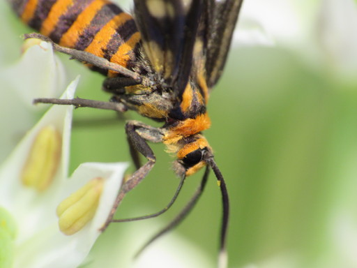 Wasp Moth shot in normal mode Canon Powershot SX530 HS but with Ranox DCR-250 lens attached