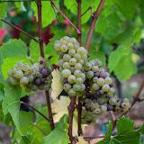 2013 vendanges du chardonnay - 2013%2B09%2B28%2BGuimbelot%2Bvendanges%2Bdu%2BChardonnay%2B115.jpg