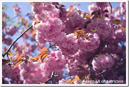 Cherry_blossom-03