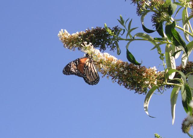 Danaus plexippus LINNAEUS, 1758. Lismore (NSW, Australie), 23 décembre 2004. Photo : J. Michel