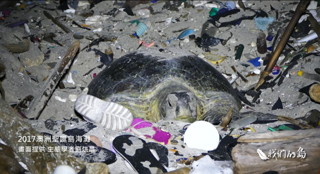 A mother turtle nests on a pile of trash on Greta Beach, Christmas Island. Photo: PTS Our Island