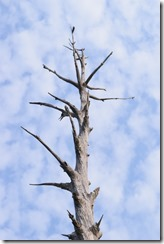 Dead tree and clouds