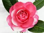 サーモンピンク〜ピーチピンク 白斑入り 牡丹〜バラ咲き 中〜大輪
