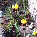 Rajah Iris