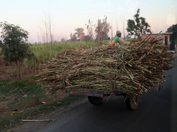 Sugar Cane 4