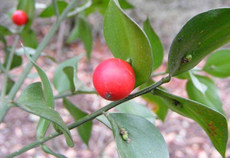 ruscus-aculeatus-1