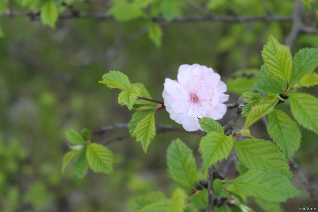 [Double+Flowering+Plum%5B8%5D]