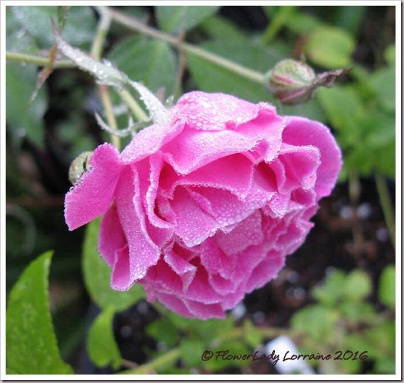 12-14-carnation2