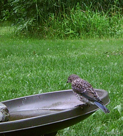 BabyBluebird one
