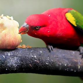 eating an apple by Willy Brordus - Animals Birds ( bird, apple, eating )