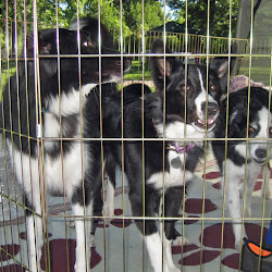 border collies.jpg