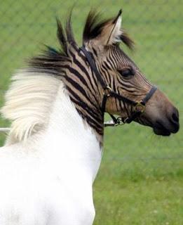 Cantiknya Hasil Persilangan Antara Zebra dan Kuda