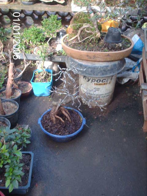 Ficus Nerifolia, Uma raiz de 3 anos... PICT0986