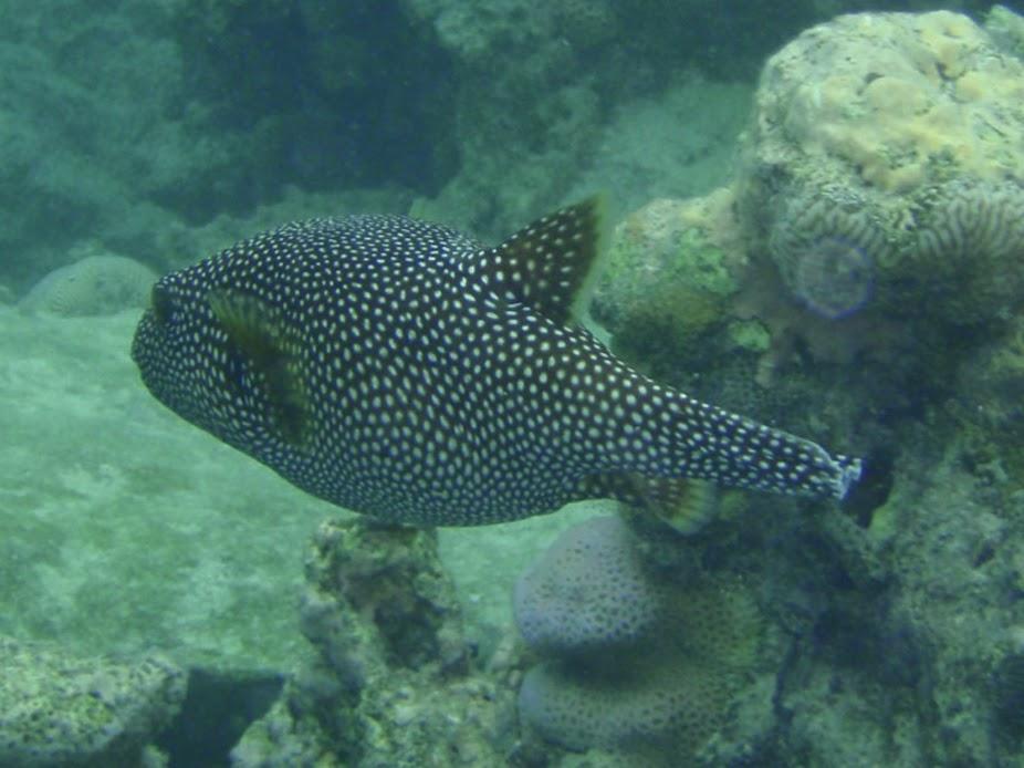 Arothron meleagris (Guineafowl Puffer), Aitutaki.