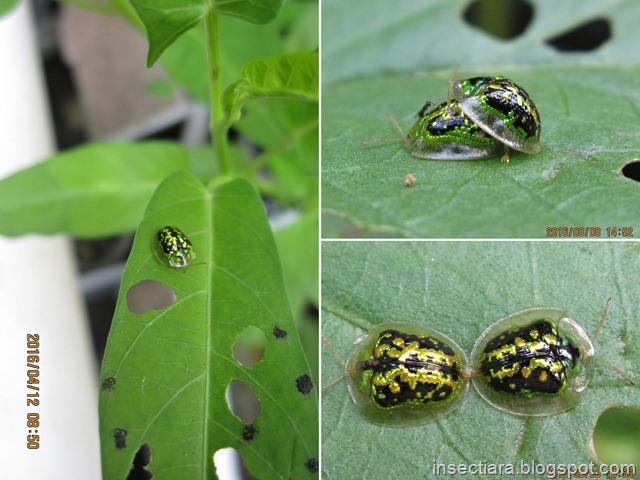 Kumbang Kura-kura Cassida circumdata, si Pemakan daun kangkung