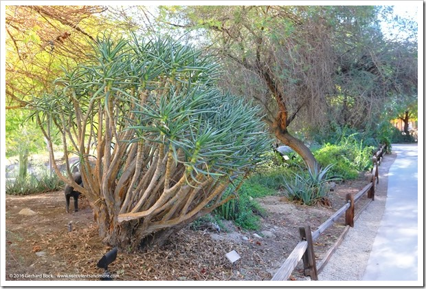 160101_TheLivingDesert_0018_Aloidendron-ramosissima