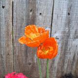 Gardening 2011 - 100_7337.JPG