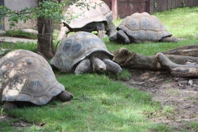 Giant tortoises, Bristol zoo