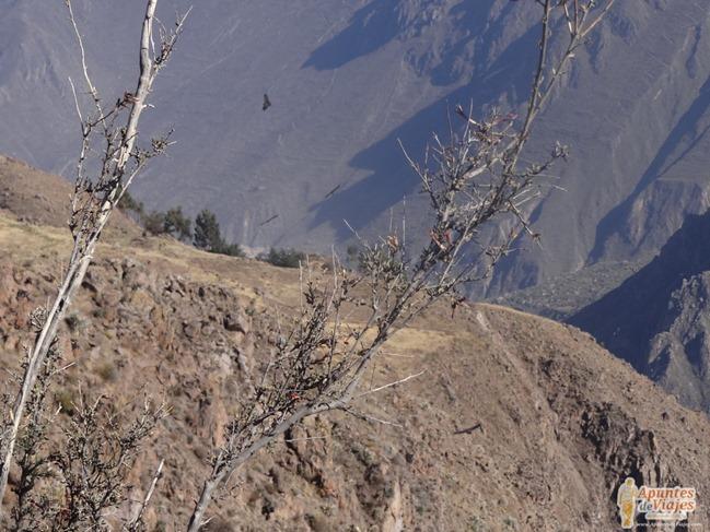 Visitar Cañón del Colca Peru 28