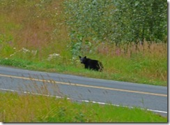 Bear near Meziadin Junction, British Columbia