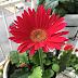 Perkembangan Mini Garden Cik Rose | Bunga-bunga mekar berkembang