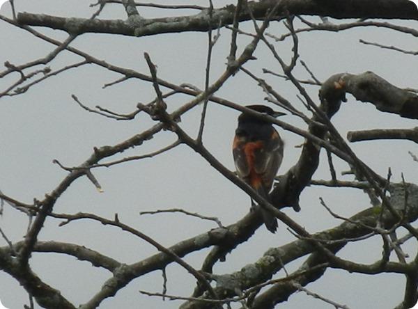 IMG_7602a  Orchard Oriole Bird (5)