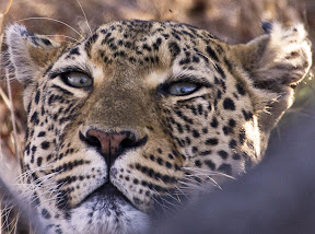 Female Leopard, South Africa