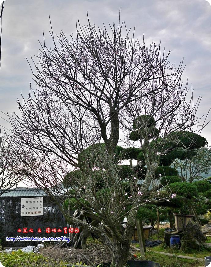 80 平菁街42巷櫻花樹
