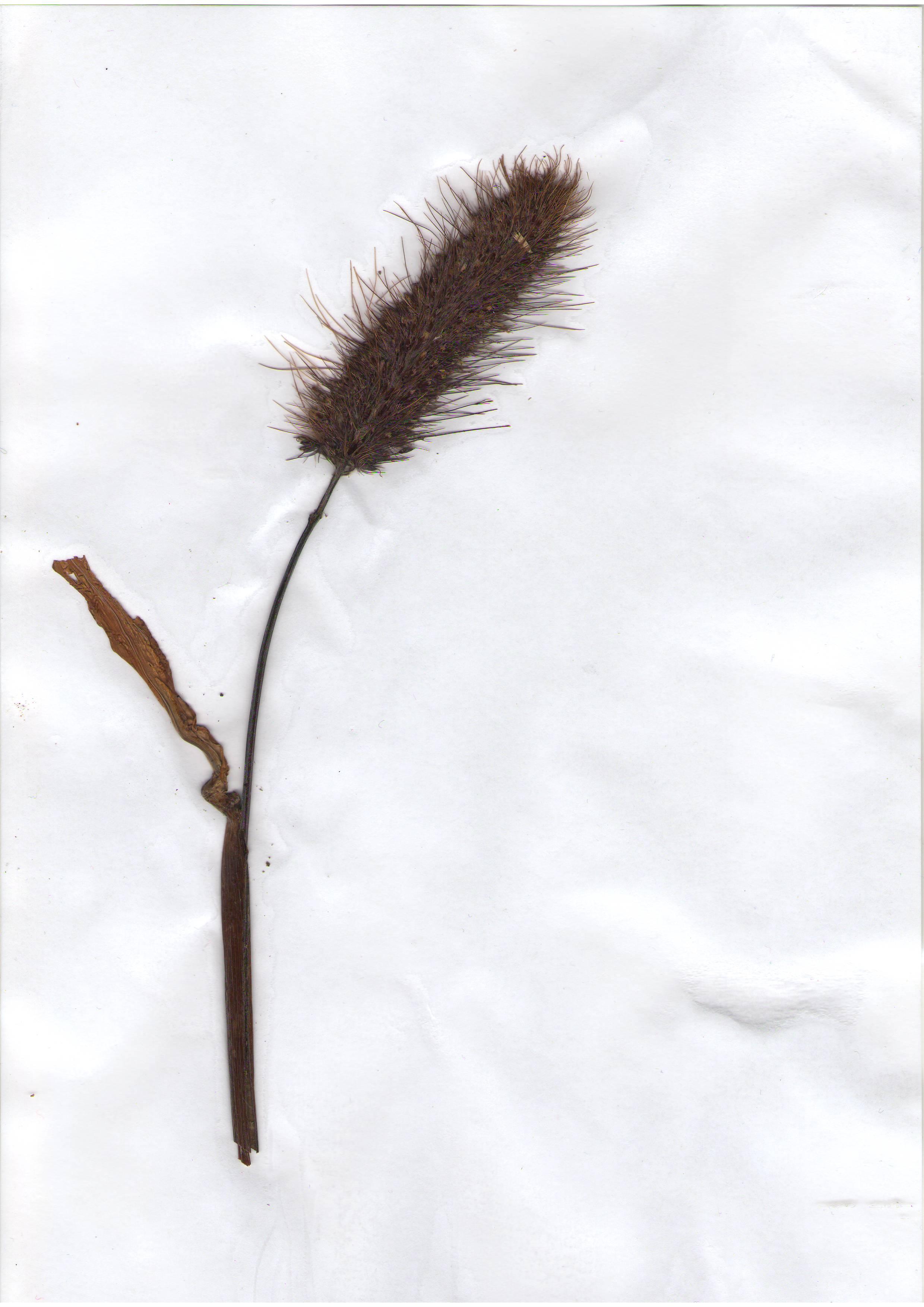 ��о�о а��икан�кое Pennisetum glaukum