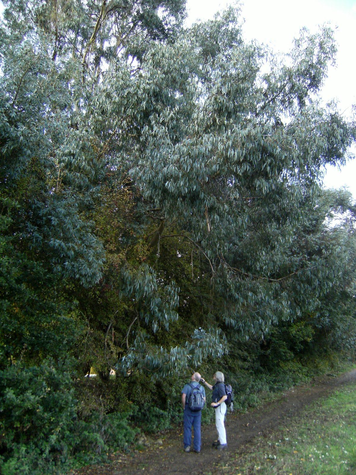 1010300044 Eucalyptus tree