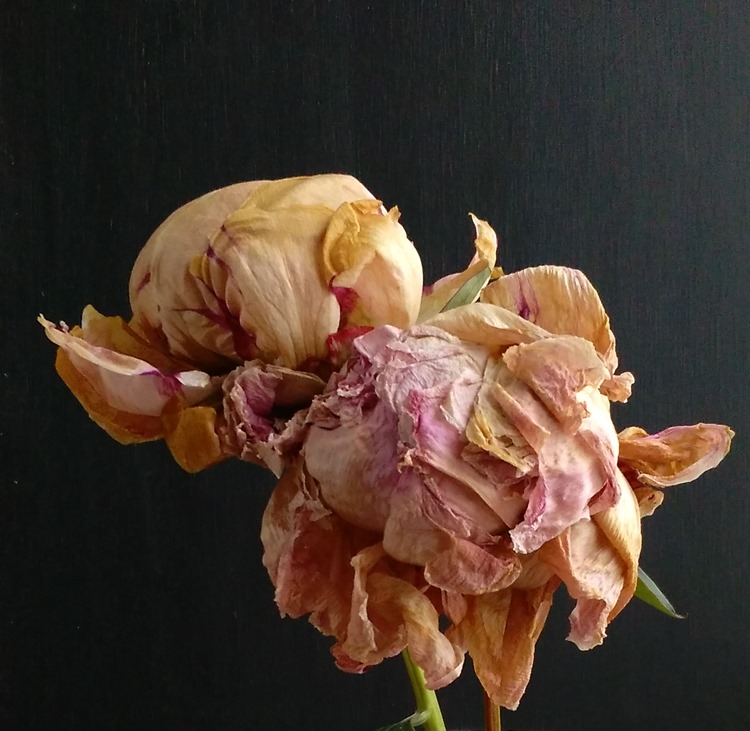faded peony blooms