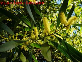 acacia longifolia 6.jpg