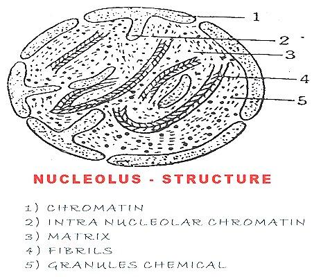 nucleolus-nucleus-cell