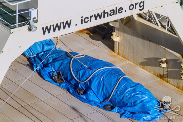 Japanese whalers cover a poached whale, 15 January 2017. Sea Shepherd Global caught the Japanese whale poachers' factory whaling vessel in the Australian Whale Sanctuary with a dead minke whale on its flensing deck, the first to be documented since the International Court of Justice ruled against their whaling operations in the Antarctic in 2014. Photo: Glenn Lockitch / Sea Shepherd Global