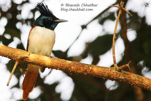 Female Asian Paradise Flycatcher
