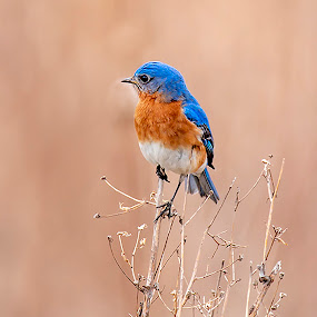 Mr. Bluebird by Sue Matsunaga - Animals Birds