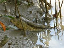 wildlife-mud-skipper-1.jpg