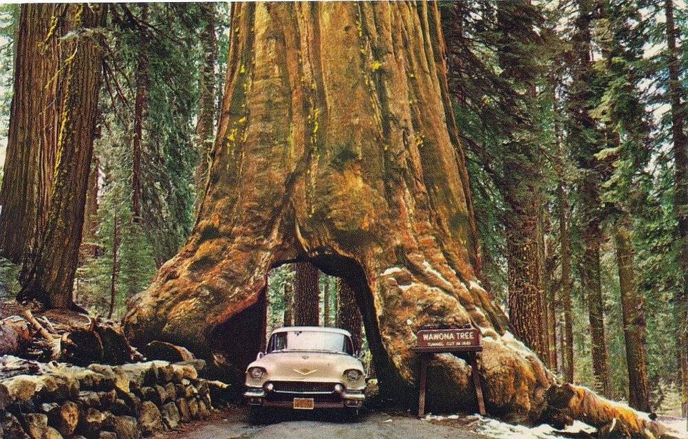 Image result for Wawona Tree