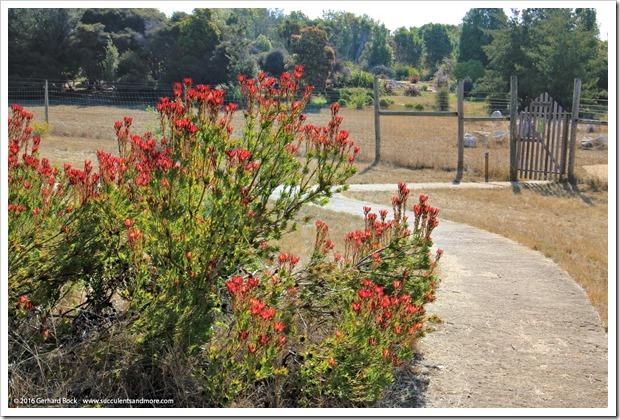 160813_UCSC_Arboretum_025