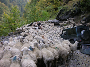 Photo: The Georgian Off-Road Club pushing through a flock down from Tusheti