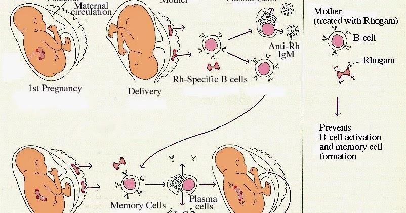Rh血型系統(rh blood group system) - 小小整理網站 Smallcollation