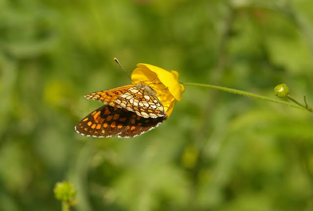 Mellicta athalia celadussa FRUHSTORFER, 1910, mâle. Forêt de Ramondens, Montagne Noire, 950 m (Tarn), 11 juin 2005. Photo : Jean-Marc Gayman