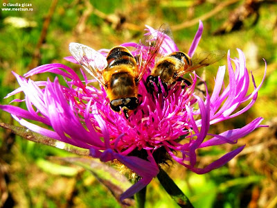 albinele la cules de polen