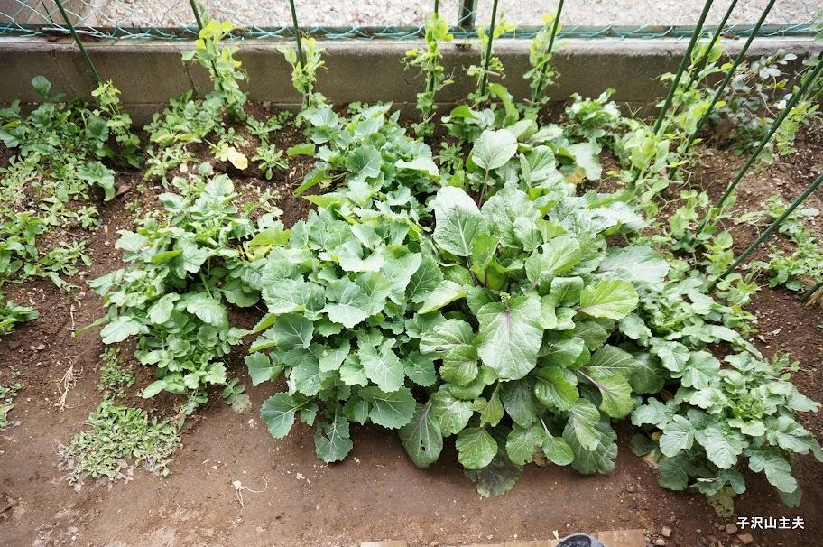 紅菜苔とのらぼう菜で賑やかな畑