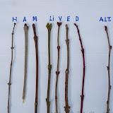 Opposite buds: Honeysuckle, Ash, Maple, Lilac, Viburnum, Elderberry, Dogwood vs.  Alternate buds (Basswood)