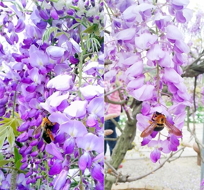 10 紫藤咖啡園 2014
