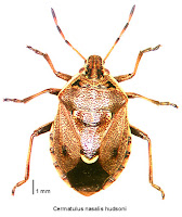 Cermatulus nasalis hudsoni (holotype specimen). Photo BE Rhode. Citation: Larivière M-C, Larochelle A 2004. Heteroptera (Insecta: Hemiptera): catalogue. Fauna of New Zealand 50: 330 pp.