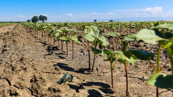 California cotton emerges