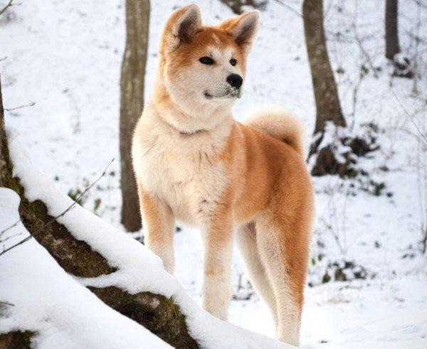 Chó Akita - Các giống chó tuyết đẹp nhất thế giới