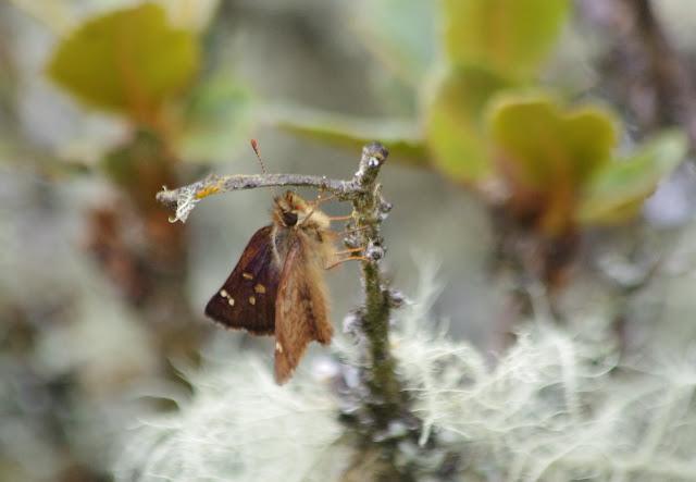 Dalla agathocles agathocles (C. Felder & R. Felder, 1867). La Trinidad, 2980 m (Guasca, Cundinamarca, Colombie), 12 novembre 2015. Photo : J.-M. Gayman